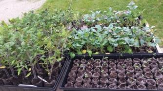 Lavender, Tomato, Broccoli