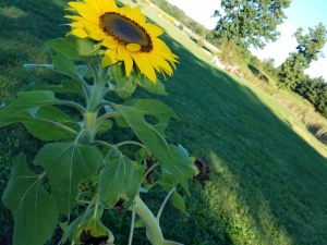 Crooked Sunflower